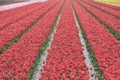 Röda tulpan i ett fält Dessa blommor sköts i Holland Nederländerna arkivbild