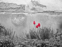 Röda tulpan i ett grått landskap Royaltyfri Fotografi