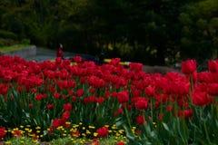 Röda tulpan i ett pittoreskt parkerar arkivbilder