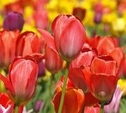 Röda tulpan i ett tulpanfält royaltyfri fotografi