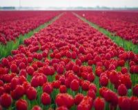 Röda tulpan i fält royaltyfria bilder
