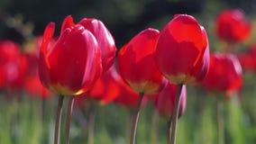 Röda tulpan i fjädraträdgården stock video
