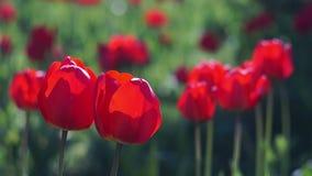 Röda tulpan i fjädraträdgården arkivfilmer