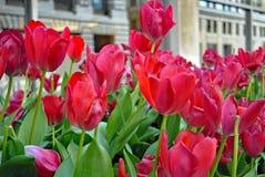 Röda tulpan i stads- landskap Royaltyfria Foton