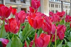 Röda tulpan i stads- landskap Arkivbilder