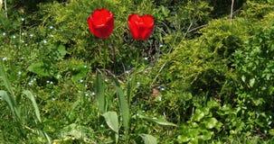 Röda tulpan i trädgården, Normandie i Frankrike, ultrarapid arkivfilmer