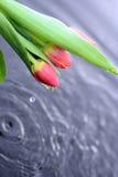 Röda tulpan i vatten Royaltyfri Bild