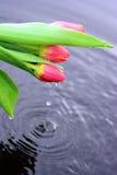 Röda tulpan i vatten Royaltyfria Bilder