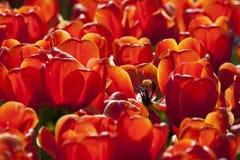 Röda tulpan, Keukenhof, Nederländerna Arkivbilder