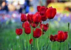 Röda tulpan med kulör bakgrund Arkivfoto