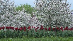 Röda tulpan och en äpplefruktträdgård Arkivfoton