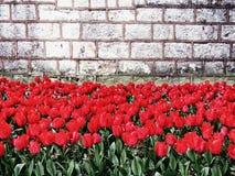 Röda tulpan och gammal vägg Arkivbild