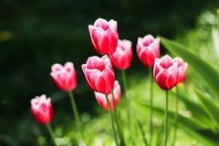 Röda tulpan och gräsplansidor Royaltyfria Bilder