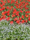 Röda tulpan och några andra vitblommor Arkivbilder