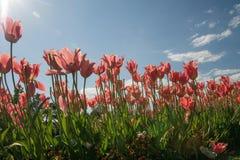 Röda tulpan och solstrålar Arkivfoto