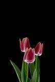 Röda tulpan på en svart bakgrund Fotografering för Bildbyråer