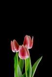 Röda tulpan på en svart bakgrund Royaltyfri Foto