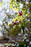 Röda tulpan på en vas Royaltyfri Bild