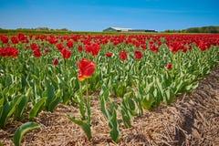Röda tulpan på ett fält med den breda vinkellinsen fotografering för bildbyråer