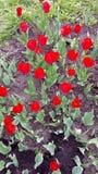 Röda tulpan på svart bakgrund arkivfoto