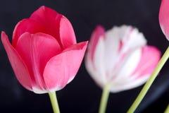 Röda tulpan på svart, blommor Arkivfoton