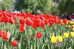 Röda tulpan skyen för showen för växter för rörelse för den förfallna för fältet för blueoklarhetsdagen ligganden för fokusen ful Royaltyfria Bilder