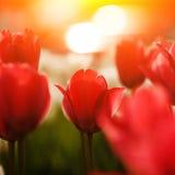 Röda tulpanblommor Royaltyfria Foton