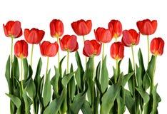 Röda tulpanblommor Fotografering för Bildbyråer