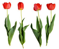 Röda tulpanblommor Royaltyfri Fotografi