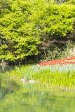 Röda tulpanblommor för strandkant Arkivbilder