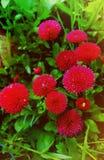 Röda tusenskönor i trädgården royaltyfri foto