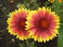 Röda två och orange gaillardiablommor Royaltyfri Bild