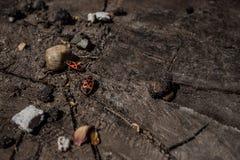 Röda två och svarta skalbaggar på hampa Royaltyfria Foton