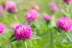 Röda växt av släkten Trifoliumblommor Royaltyfria Bilder