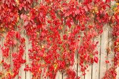 Röda växter på trästaketet Royaltyfri Fotografi
