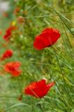 Röda vallmo av Tuscany Arkivfoto