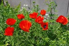 Röda vallmo blommar i trädgården Arkivfoto