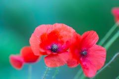 Röda vallmo blommar utomhus- i dagsljus på grön suddig bakgrund royaltyfri bild