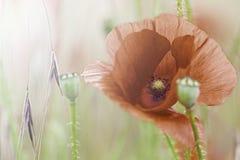 Röda vallmo för blommaäng Arkivfoto