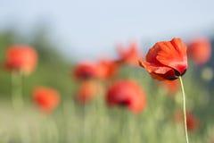 Röda vallmo för härlig sommarbakgrund Arkivbild