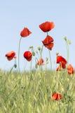Röda vallmo för härlig sommarbakgrund i fältet Arkivfoton
