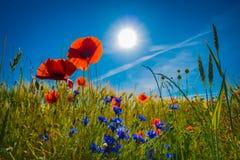 Röda vallmo i en cornfield i solskenet fotografering för bildbyråer