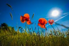 Röda vallmo i en cornfield i solskenet arkivbilder