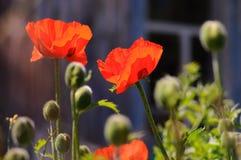 Röda vallmo i en lantlig trädgård Royaltyfria Bilder