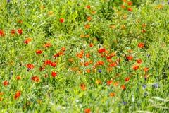 Röda vallmo i ett fält i natur Royaltyfria Bilder