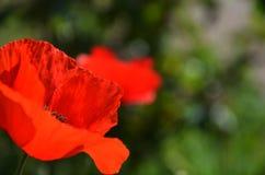 Röda vallmo i ett grönt fält av lösa växter arkivbilder