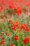 Röda vallmo i lösa Poppy Fields royaltyfri bild