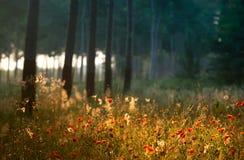 Röda vallmo i skogen Arkivbilder