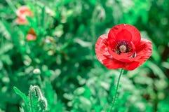 Röda vallmo i trädgården royaltyfria foton