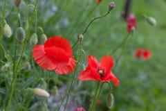 Röda vallmo och gräs Arkivbild